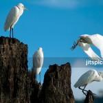 Cattle Egret (Bubulcus ibis)-DSCF7854