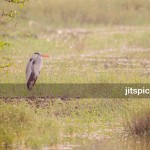 Grey heron-DSC_8855