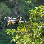 Great hornbill-P1110824