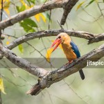 Stork-billed kingfisher-P2250499