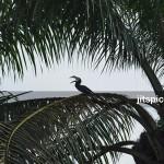 Oriental pied hornbill in oil palm plantation-P2260205