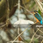 Common Kingfisher-P2260569