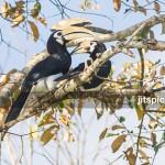 Oriental pied hornbill-P2270115