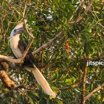 White-crowned hornbill-P2270178