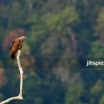 Lesser Fish Eagle (Ichthyophaga bumilis)-P2273151