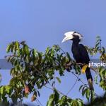 Black hornbill-P2280073