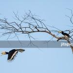 Oriental pied hornbill-P2280822