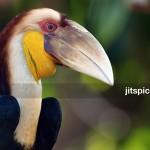Wreathed Hornbill (Aceros undulatus)-P2283409