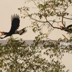 Rhinoceros hornbill-P3020593