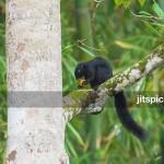 P3060477 - Prevost squirrel feeding on Oil Palm seed