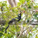 Oriental pied hornbill-P4110817