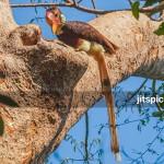 Helmeted Hornbill-P4117010