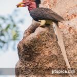Helmeted hornbill (Rhinoplax vigil)-P4265041