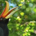 Rhinoceros Hornbill (Buceros rhinoceros)-P5015856