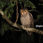 Spotted wood owl-P7183945