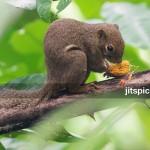P8074388 - XXX  squirrel (3 legged) feeding on Oil Palm seed