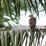 Wallace hawk eagle in Oil Palm plantation-P8074787