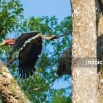 Helmeted hornbill-P8105737
