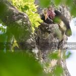 Helmeted hornbill (Rhinoplax vigil) - P8105873