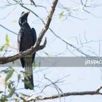 Bushy-crested hornbill-P8126155