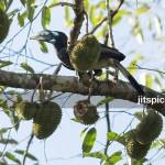 Bushy-crested hornbill-P8126161