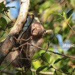 P8234311 -Long-Tailed Macaque (Macaca fascicularis)