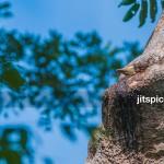 Helmeted hornbill (Rhinoplax vigil)-P8294942
