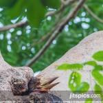 Helmeted hornbill (Rhinoplax vigil)-P8305423