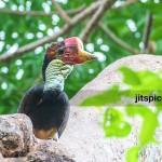 Helmeted hornbill (Rhinoplax vigil)-P8315971