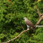 Lesser Fish Eagle (Ichthyophaga bumilis)-P9169445