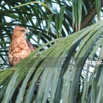 Wallace hawk eagle in Oil Palm plantation-P9266769