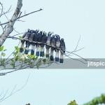 Bushy-crested hornbill-P9266893