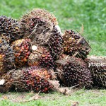 P9287182 - Oil Palm seeds harvested for processing