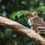 Buffy fish owl-P9298249