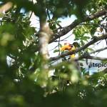 Wrinkled hornbill-PA029675