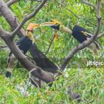 Great hornbill-PA2610280