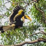 Great hornbill-PA270420