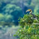Great hornbill-PA290063